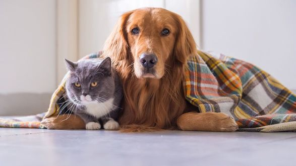 Фото Золотистый ретривер и британская короткошерстная кошка укрытые пледом, лежат на полу, by Chendongshan