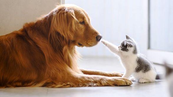 Фото Золотистый ретривер и котенок, дотрагивающийся до его мордочки, by Chendongshan