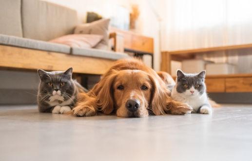 Фото Золотистый ретривер и две британские короткошерстные кошки лежат на полу, by Chendongshan