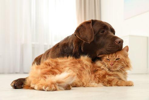 Фото Ретривер и кошка лежат на полу