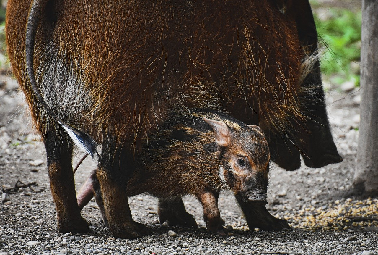 Фото Детеныш кабана с мамой, фотограф Alexas_Fotos