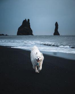 Фото Пес породы лайка гуляет по побережью, фотограф Marvin Kuhr