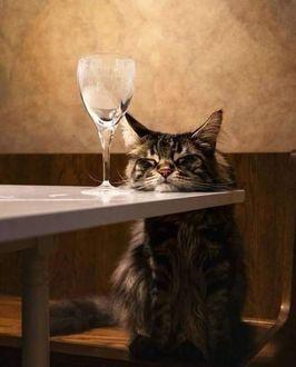 Фото Кот положил голову на стол перед бокалом