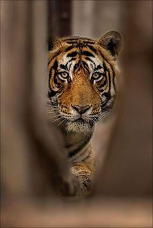 Фото Тигр на размытом фоне
