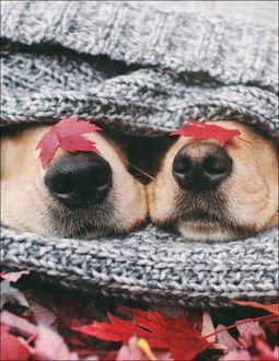 Фото На носах собак лежат осенние листья
