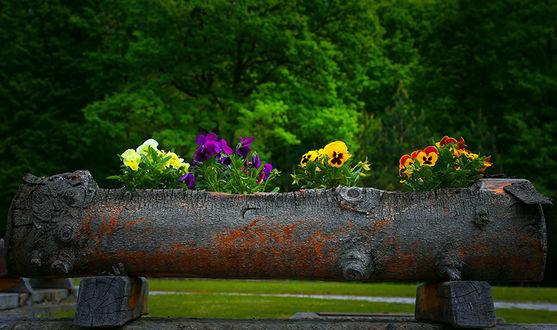 Фото Цветы анютины глазки посаженные в цветочницу из бревна дерева на фоне деревьев, фотограф Valentin