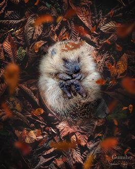 Фото Ежик в осенней листве, by sphantasy_art