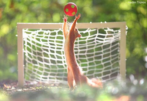 Фото Белка-спортсмен стоит на задних лапках, подняв передние лапки к мячу. Фотограф Вадим Трунов