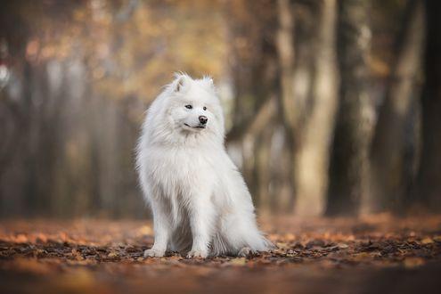 Фото Собака породы корейский чиндо