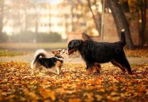 Фото Две собаки стоят напротив друг друга на осенней листве, by Janis Balcuns