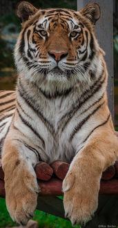 Фото Тигр крупным планом, фотограф Макс Беккер