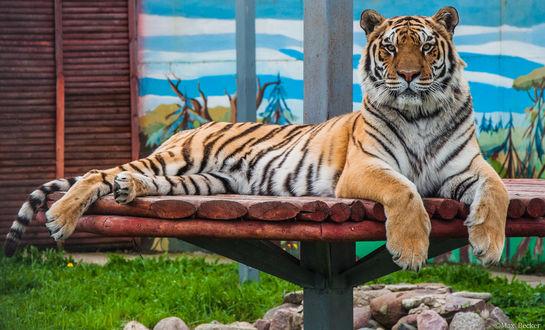 Фото Тигр лежит на лежанке из бревен, фотограф Макс Беккер