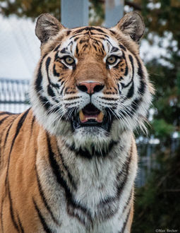 Фото Тигр с открытой пастью, фотограф Макс Беккер