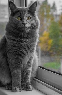 Фото Серая кошка сидит на подоконнике, фотограф Макс Беккер