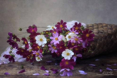 Фото Цветы космеи в плетеной сумке на столе, by Daykiney