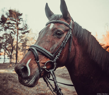 Фото Голова лошади в профиль на фоне деревьев, фотограф Макс Беккер