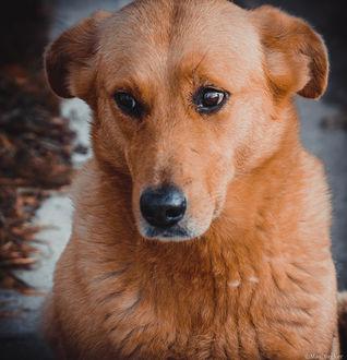 Фото Рыжая собака крупным планом, фотограф Макс Беккер