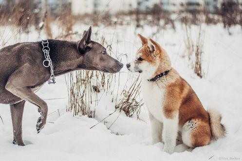 Фото Две собаки, одна из которых породы норвежский лундехунд, обнюхивают друг друга на фоне снега, фотограф Макс Беккер
