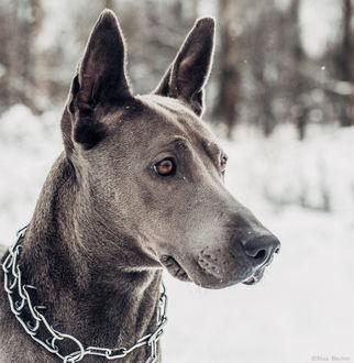 Фото Собака в профиль крупным планом. фотограф Макс Беккер