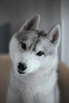 Фото Собака хаски. Фотограф Tsogoeva Erika