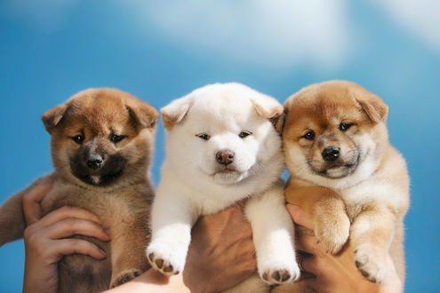 Фото Три щенка держат на руках. Фотограф Tsogoeva Erika