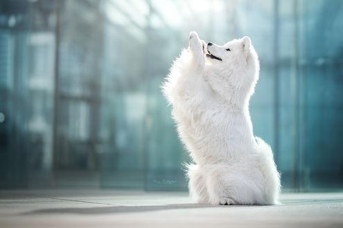 Фото Американская эскимосская собака