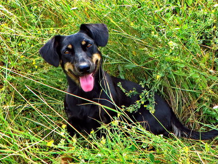 Фото Собака породы австрийская гончая с высунутым языком сидит в траве, by vodonos241
