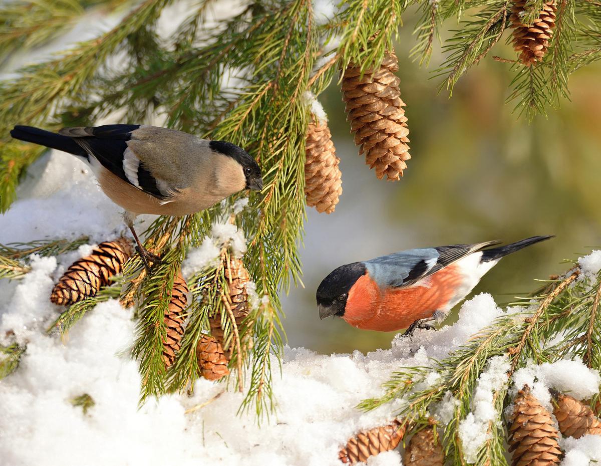 зимние птицы картинки снегирь