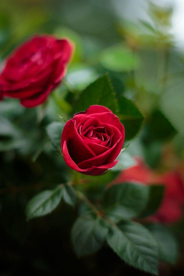 Фото Розы на размытом фоне
