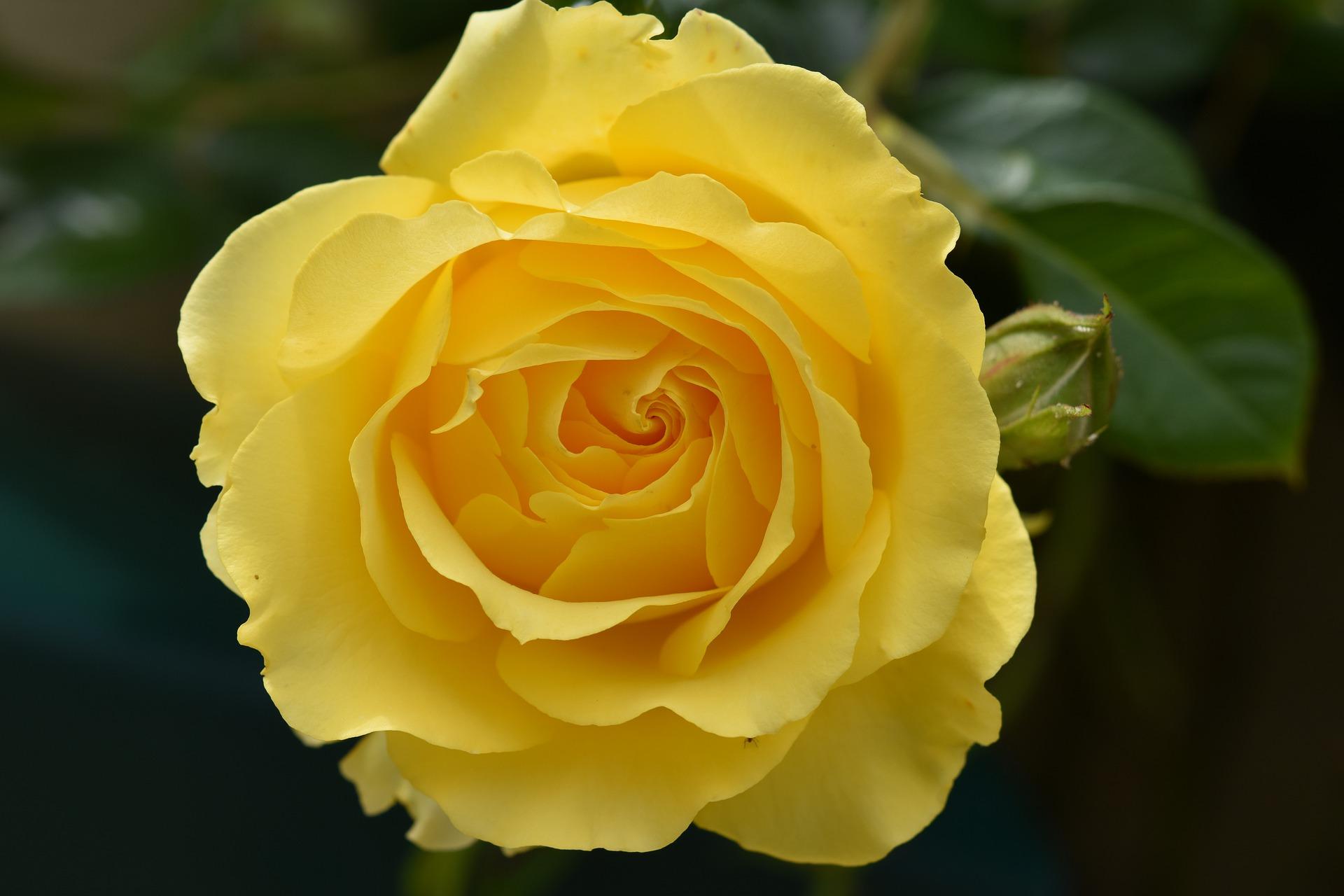 Фото Желтая роза на размытом фоне, фотограф JacLou DL