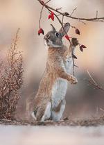 Фото Кролик стоит на задних лапках у веток шиповника, by Julian Rad