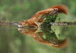 Фото Белка над водой, by Julian Rad