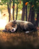 Фото Лисенок спит на траве под падающими осенними листьями, by Zenja Gammer