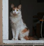 Фото Трехцветная кошка сидит на окне, by Sebastian Prytuluk