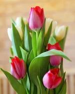 Фото Розовые и белые тюльпаны с листьями, by Moshe Harosh