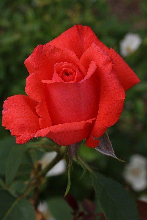 Фото Алая роза на размытом фоне, by HeungSoon