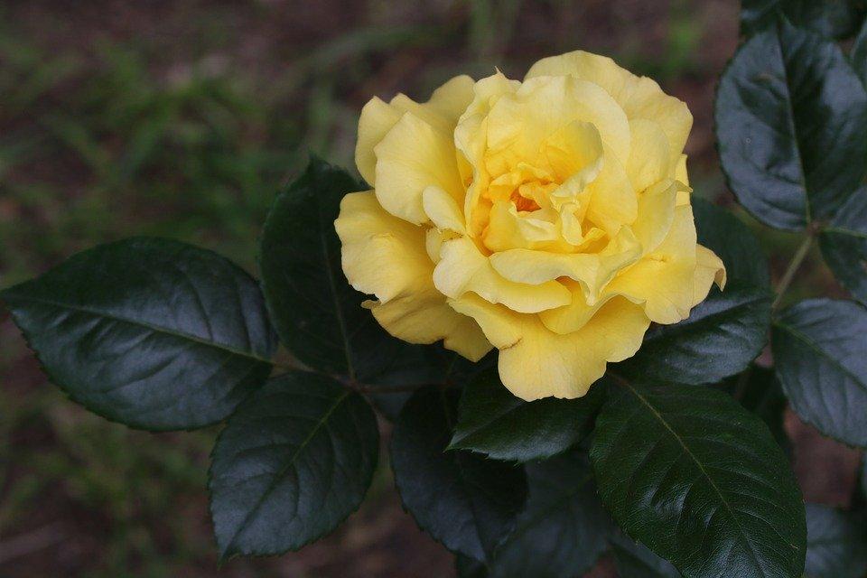 Фото Желтая роза на размытом фоне, by HeungSoon