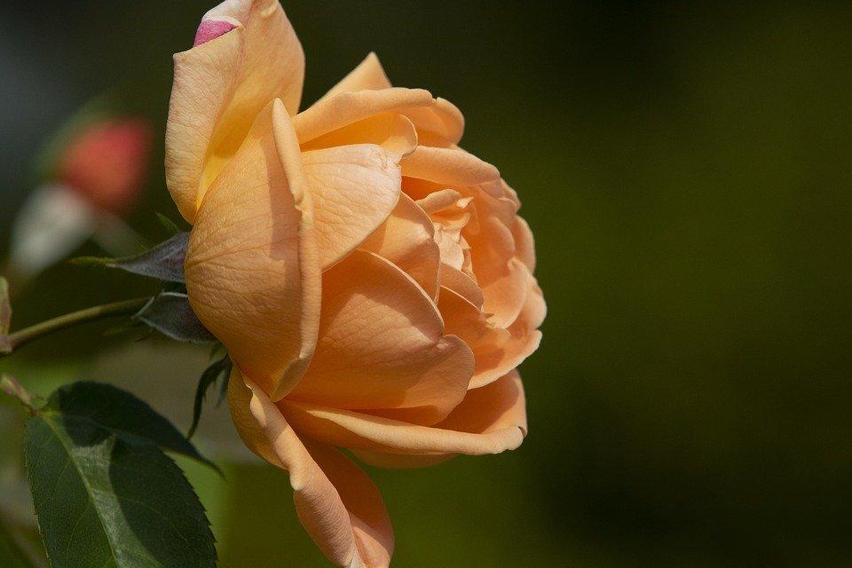 Фото Оранжевая роза, by HeungSoon