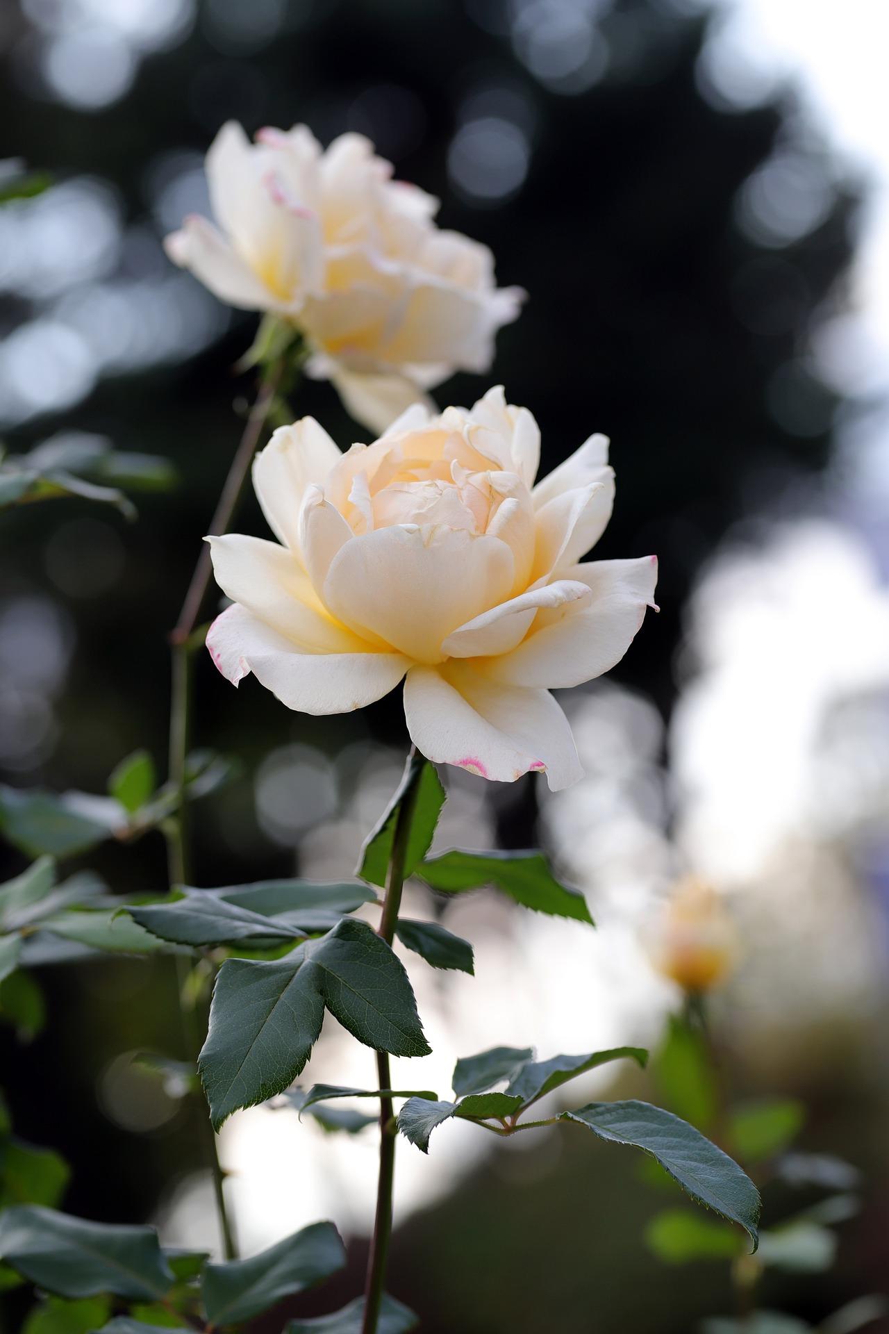 Фото Кремовые розы на размытом фоне, by HeungSoon