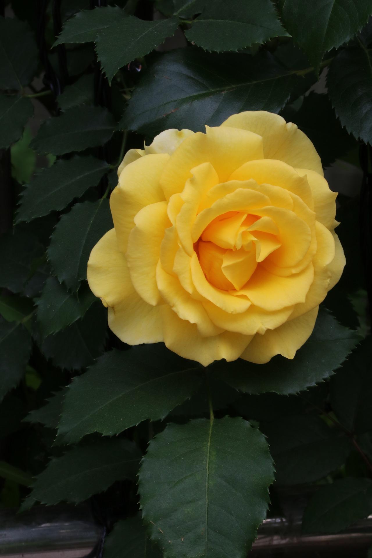 Фото Желтая роза, by HeungSoon