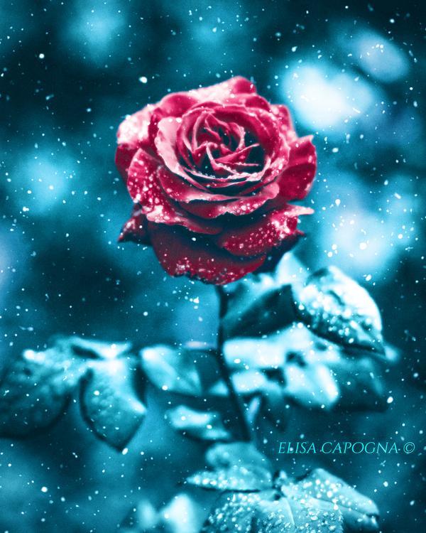 Фото Бордовая роза под снегопадом, by ArtOfElisaCapogna