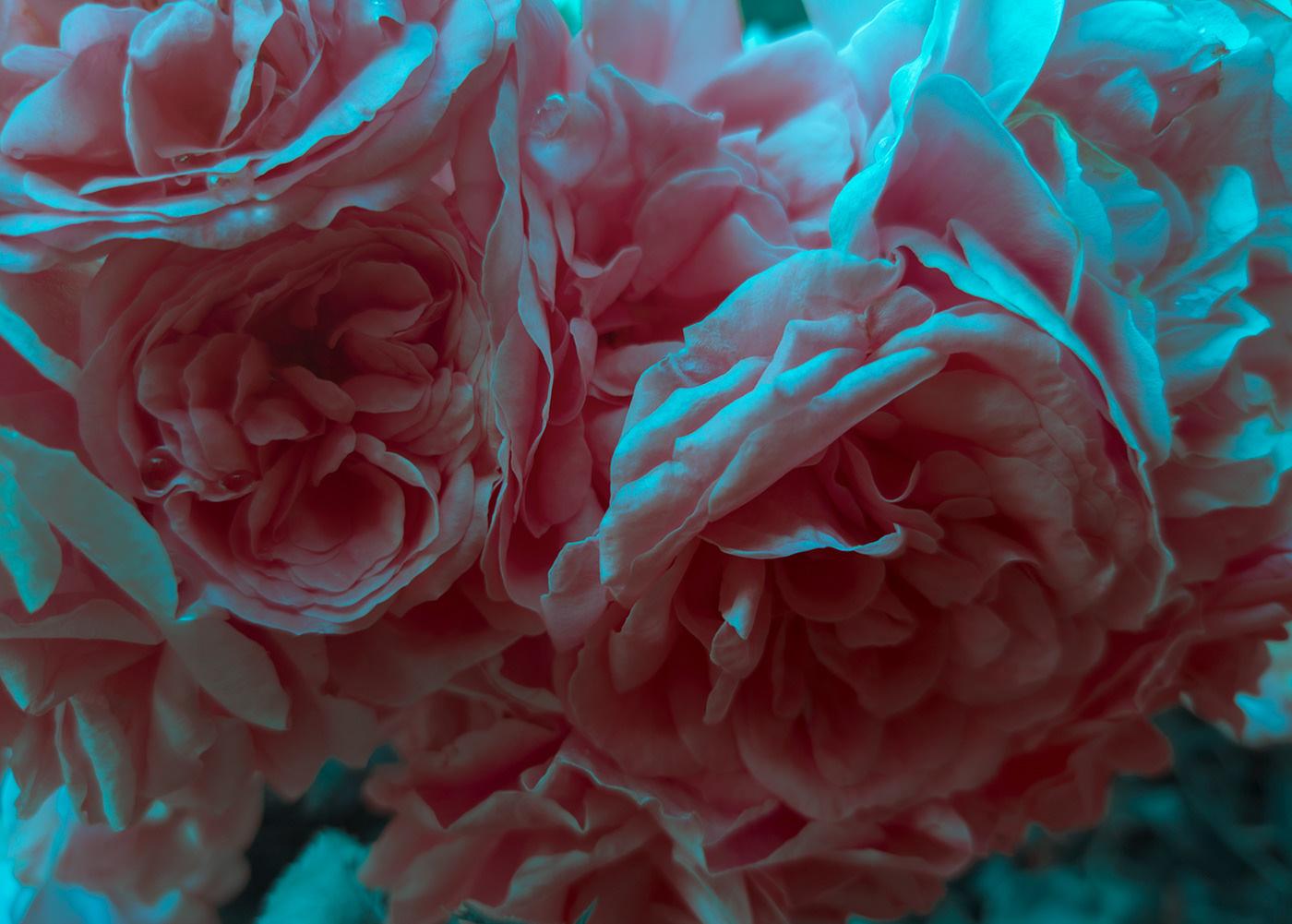 Фото Розовые раскрывшиеся розы