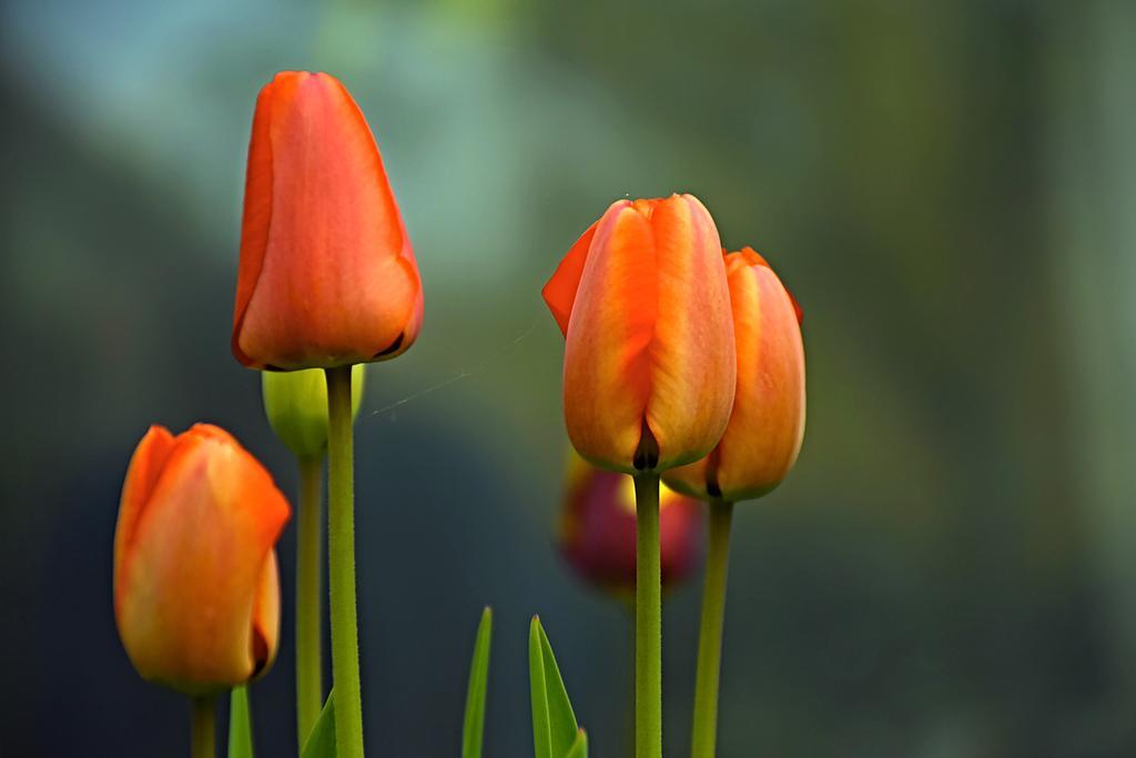 Фото Оранжевые тюльпаны на размытом фоне