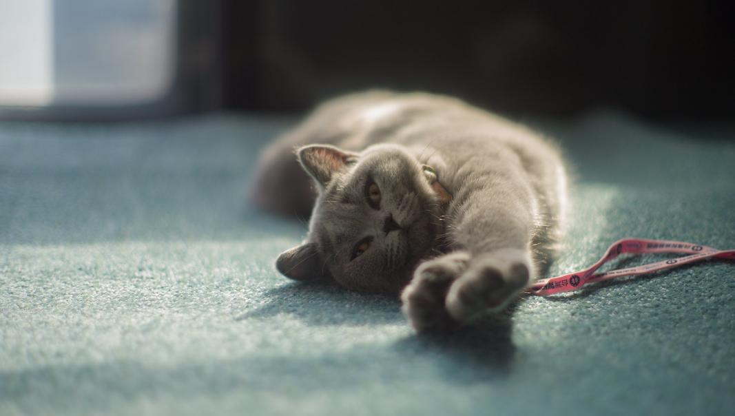 Фото Серая кошка лежит на полу