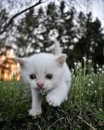 Фото Белый котенок на траве, by Snowflake. thekitten