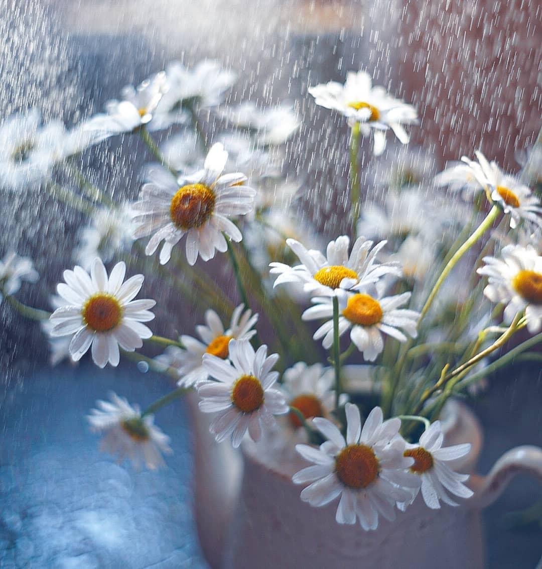 Фото Ромашки под каплями дождя, by Valeriya_nkas