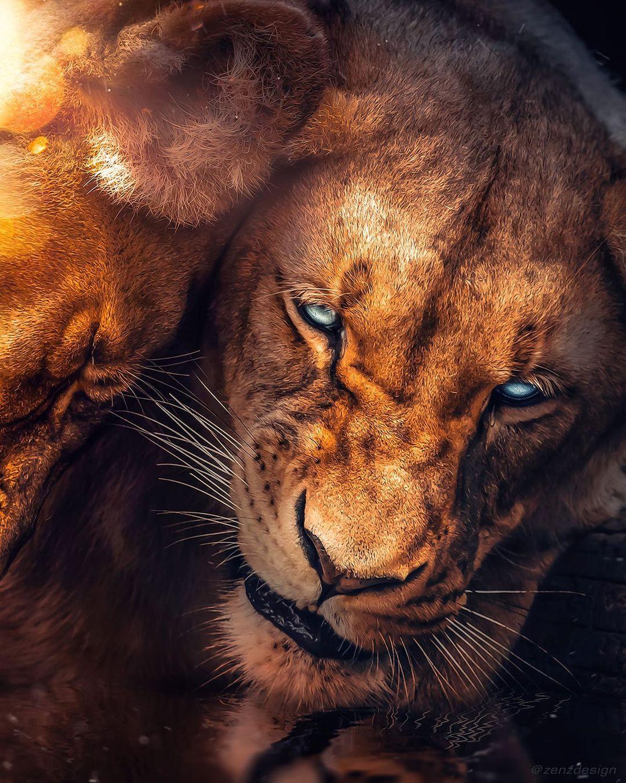 Фото Две львицы, by Zenja Gammer