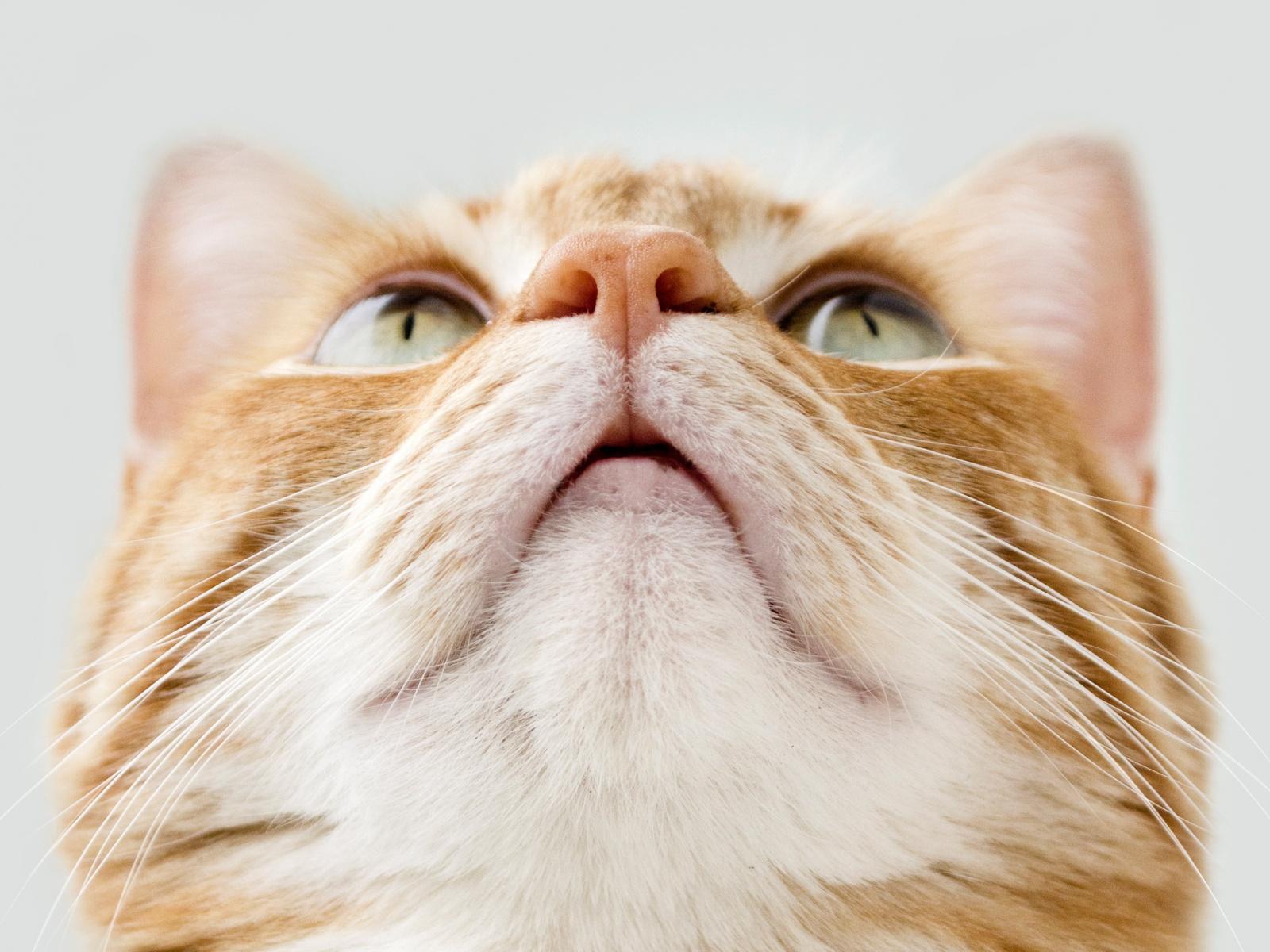 Фото Мордочка бело-рыжего кота