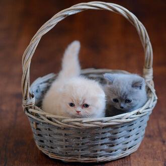 Фото Серый и белый котята в корзине, фотогоаф Igor Goodkov (© lRB02), добавлено: 10.09.2021 22:11