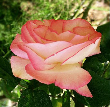Анимация Розовая роза в саду